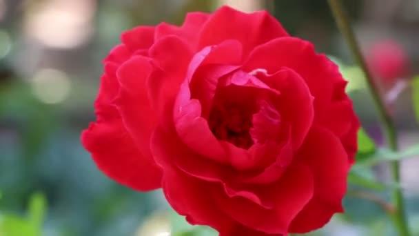 Piros rózsa virág virágzik nappal