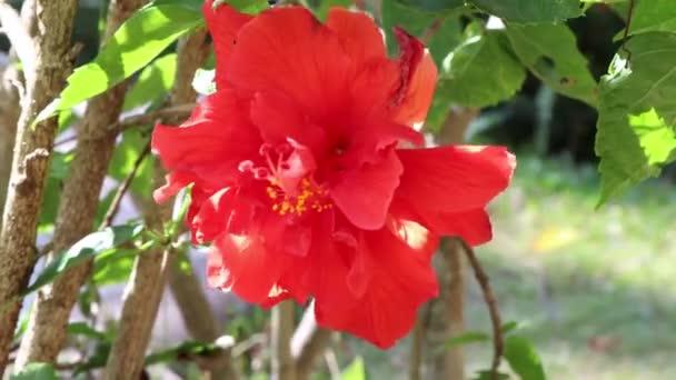 Hibiscus rosa-sinensis virág virágzik a kertben