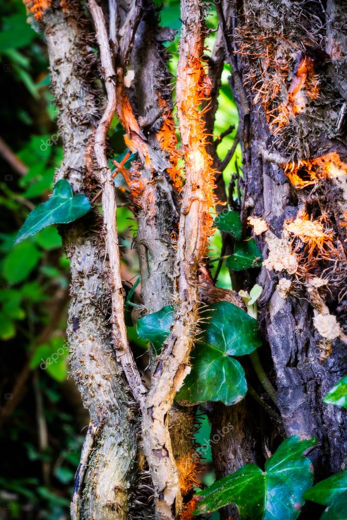 Wood tree with thick ivy