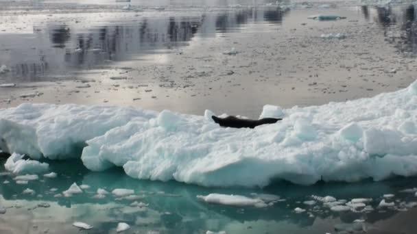 Schlafen auf einem Eisberg in der Antarktis der Seeleopard