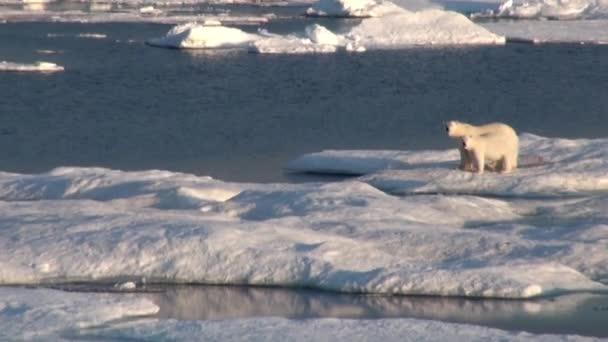 Eisbärenmutter und ihr Junges auf kalter Eisscholle.