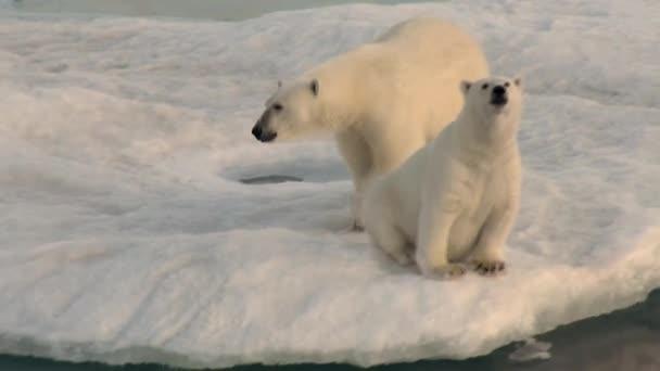 Matka ledního medvěda a její mládě na chladné ledová kra.