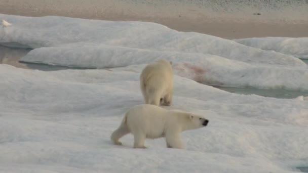 Anya jegesmedve és a kölyök, a hideg úszó jégtábla.
