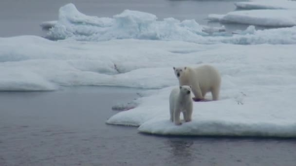 Mother polar bear and her cub on cold ice floe.