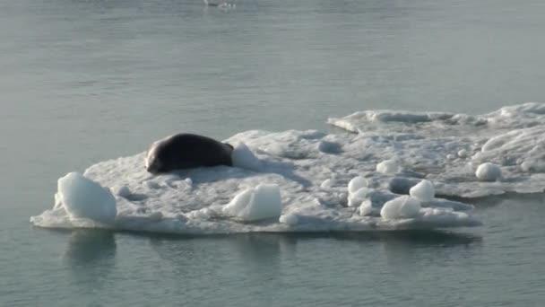 Leopardenrobbe schläft auf einem Eisberg in der Arktis.