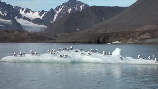 Rackové sedět a plavou na ledovec v Arktidě.