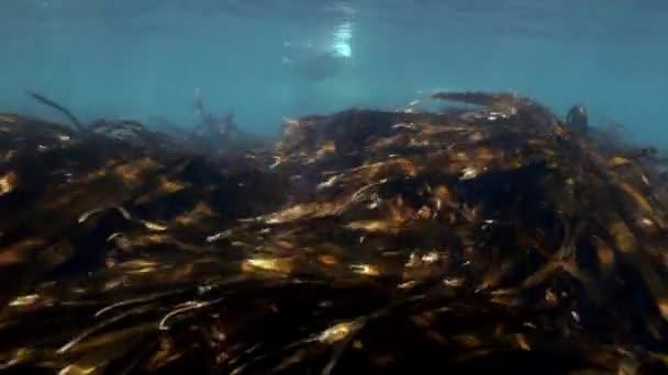 Szürke pecsét úszik a víz alatti japán tengeri fű.