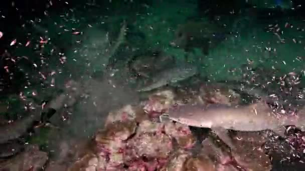 Whitetip Reef sharks At Nighth In search of food.