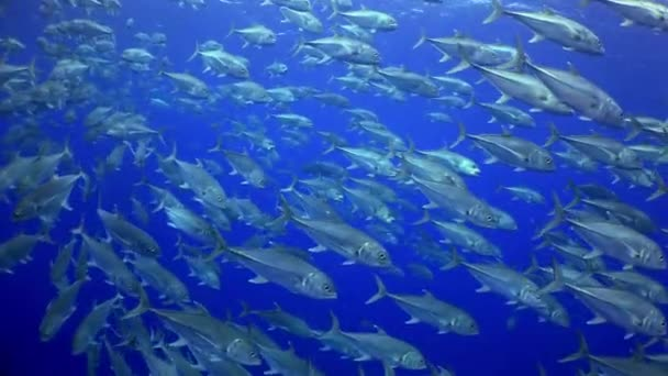 School Tuna fish swims in reef and in blue sea.