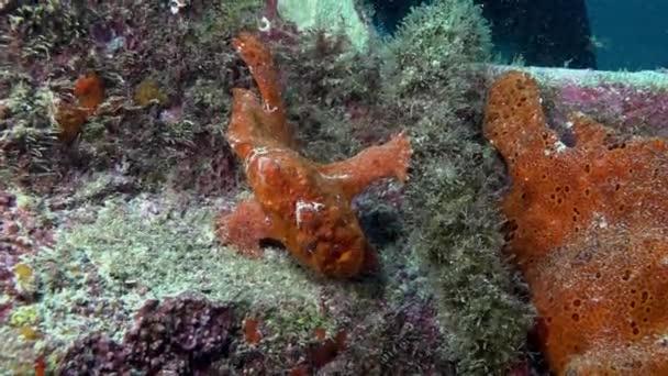 Červená ryba Angler Anglerfish hon na skalnatý útes.