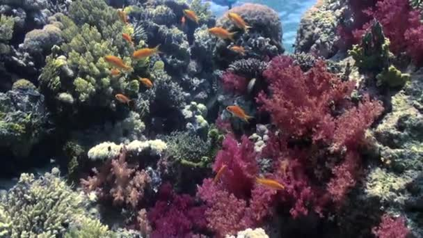 Beautiful red soft coral reef in tropical water.