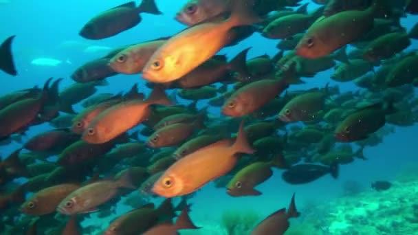 Škola tropických ryb na útesu při hledání potravy