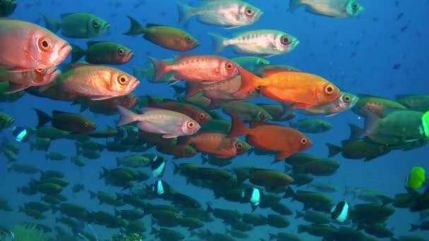 Piros trópusi halak úszni a zátony tengeri iskola.