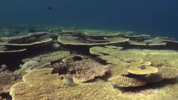 A korallzátony víz alatti tájképe. Maldív-szigetek.