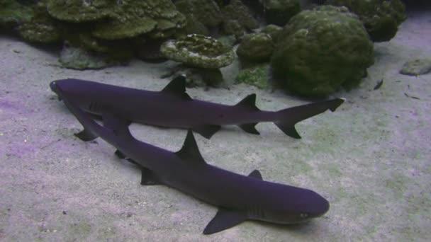 Whitetip útes žraloků na skalní útes hledání potravin.