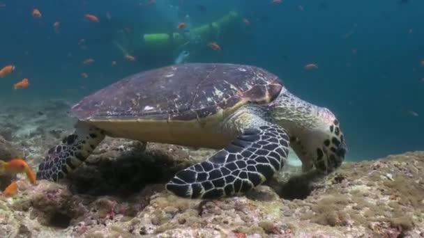 Tartaruga di Hawksbill mare nuoto mangiare sulla barriera corallina