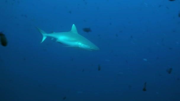 Cápa swims élelmet keresve zátony szélén.