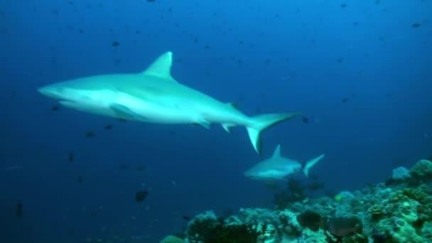 Hai schwimmt am Rand des Riffs auf Nahrungssuche.