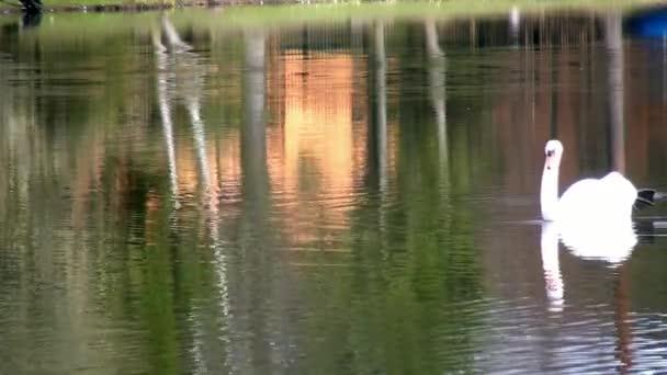 Weißer Schwan schwimmt auf Spiegeloberfläche des Sees.