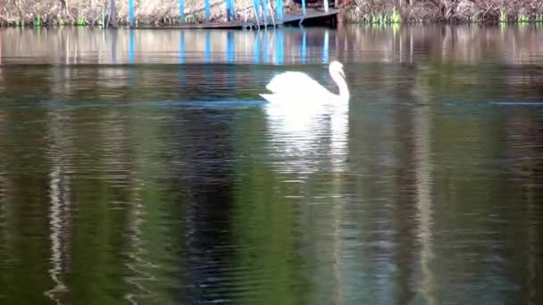 Bílá labuť plave na zrcadlovém povrchu jezera.