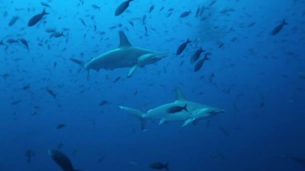Gruppe von Hammerhaien schwimmt synchron im Pazifik.
