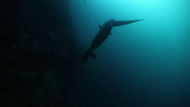 Moonfish Sunfish Mola mola fish in underwater marine life of Pacific Ocean.