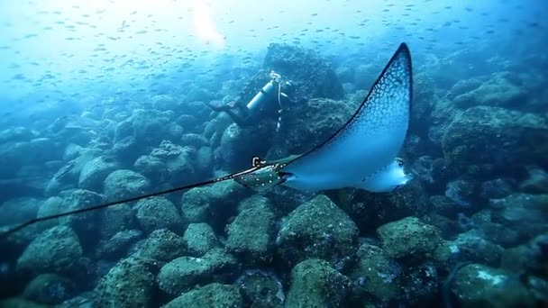 Manta rays swims near people on background of seabed in Pacific ocean.