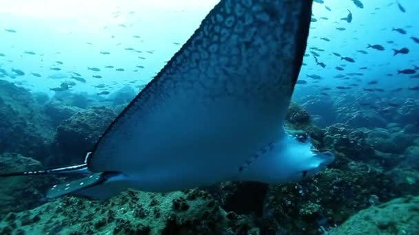 Undewater giant manta rays swims on background of seabed in Pacific ocean.