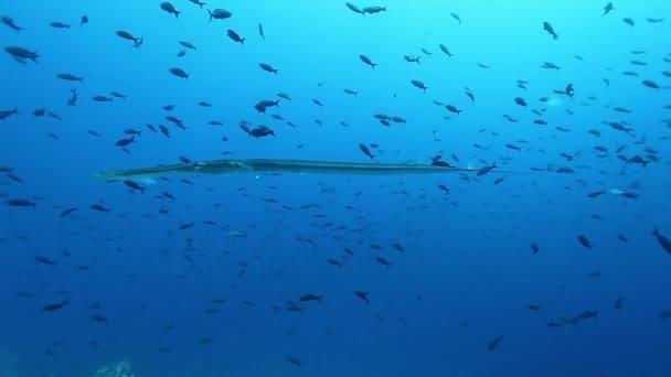 School of fish underwater on background of marine life of Pacific Ocean.