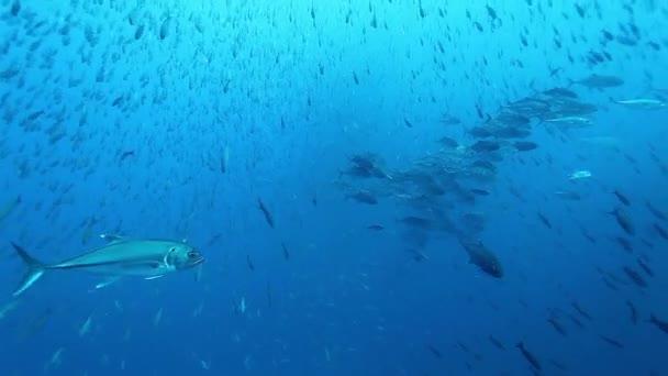 Tuna fish of one species glisten in underwater marine life of Pacific Ocean