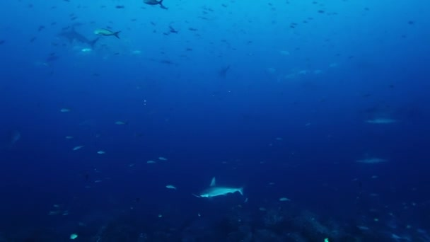 Group of hammerhead shark swims underwater Pacific Ocean.