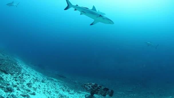 Pack of sharks in underwater marine wildlife of Fiji.