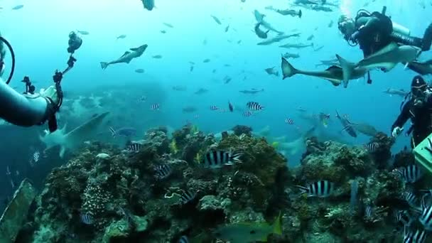 People feed sharks in school of fish in underwater marine wildlife of Fiji.