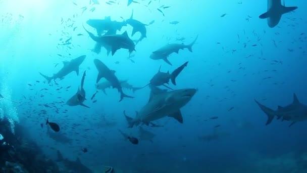 Cápák falkája a Fidzsi-szigetek víz alatti élővilágában.