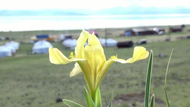 Fialové květy v zelené divoké stepi Mongolska.