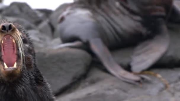 Video mit lautem Tiergebrüll des männlichen Nordpelzrobbentieres.