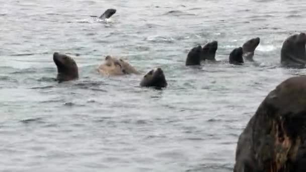 Gruppe von Robbenohren taucht ins Wasser des Ochotskischen Meeres.
