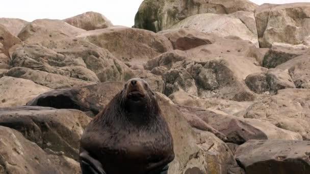 Robbenmännchen auf Felsen an der Küste des Ochotskischen Meeres.