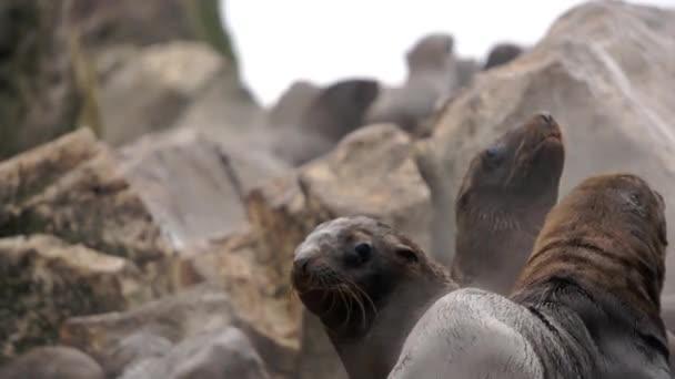 Jungrobben auf Felsen an der Küste des Ochotskischen Meeres.