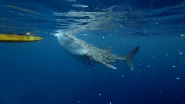 Großer Walhai Rhincodon typus ernährt sich von Plankton hinter Boot auf den Malediven