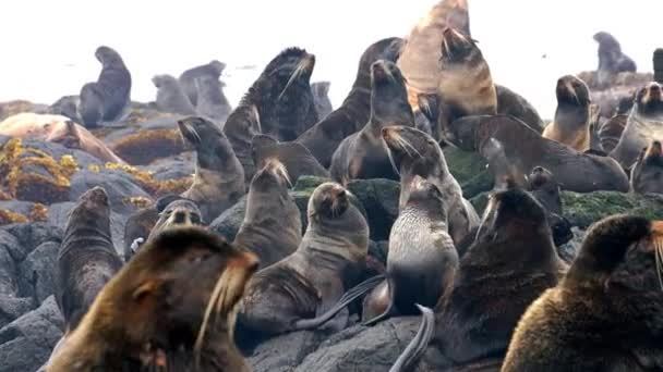 Video mit Geräuschen einer Gruppe von nördlichen Pelzrobben in der Nähe des Ochotskischen Meeres.