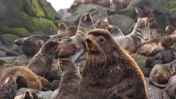 Video mit lautem Tiergebrüll von Robbenfell-Tier auf Steinfelsen.