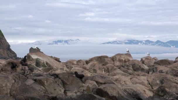 Seelöwe Eumetopias jubatus weibliches Tier mit Jungen auf Felsen.