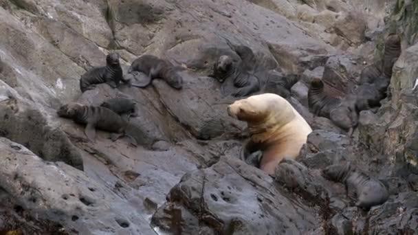 Robbenmutter bewacht Kälber auf Felsen an der Küste des Ochotskischen Meeres.