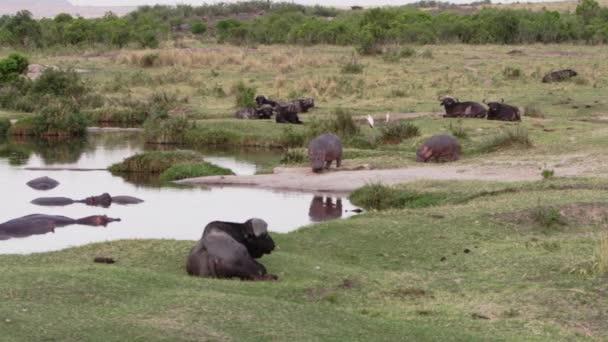 Eine Gruppe Flusspferde mit Vögeln auf dem Rücken.