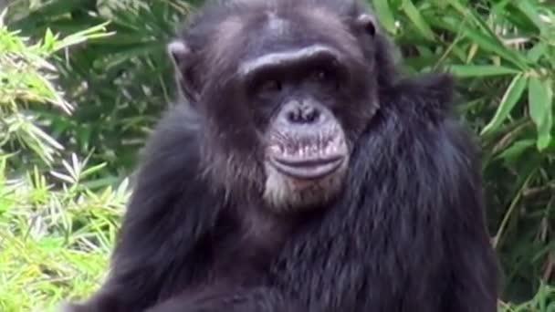 Közelkép egy majom csimpánz a természet szívében, Szingapúr.