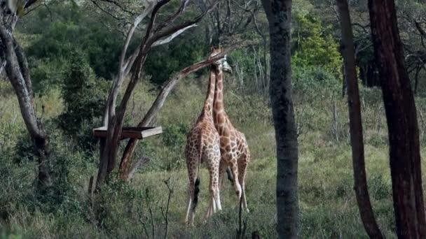 Zblízka portrét žirafy žirafy camelopardalis v Keni.