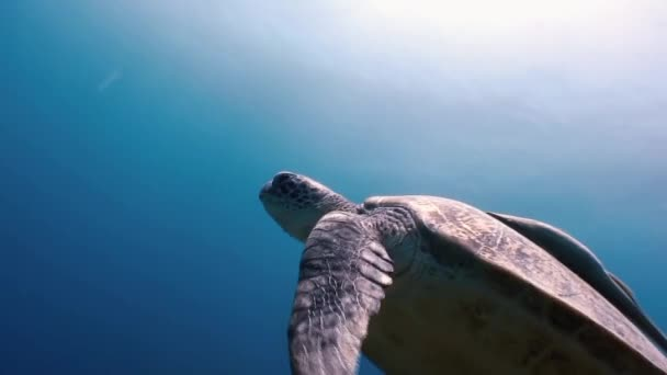 Green Sea Turtle  swimming In Sea with Remora Fish in search of food.