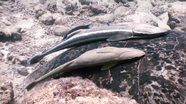 Zöld tengeri teknőst úszni a tengeri hal Remora élelmet keresve.