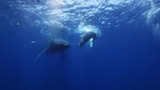 Humpback whales mother and calf in blue sea water. Amazing underwater shooting.